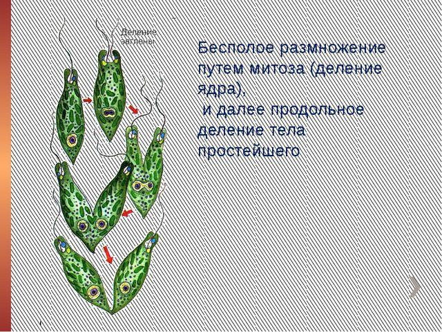 Бесполое размножение путем митоза (деление ядра), и далее продольное деление...