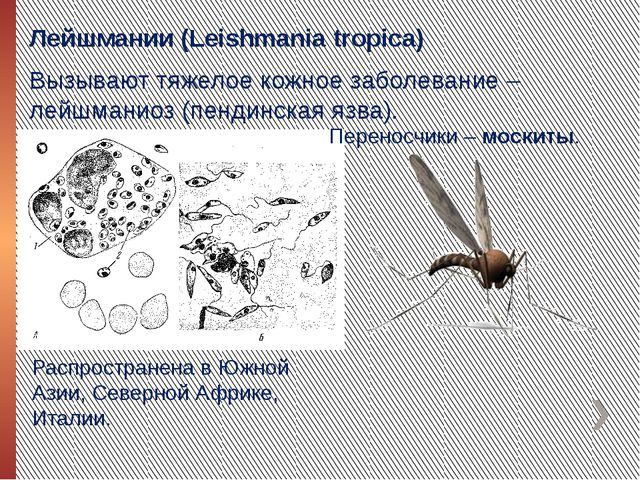 Лейшмании (Leishmania tropica) Вызывают тяжелое кожное заболевание – лейшмани...