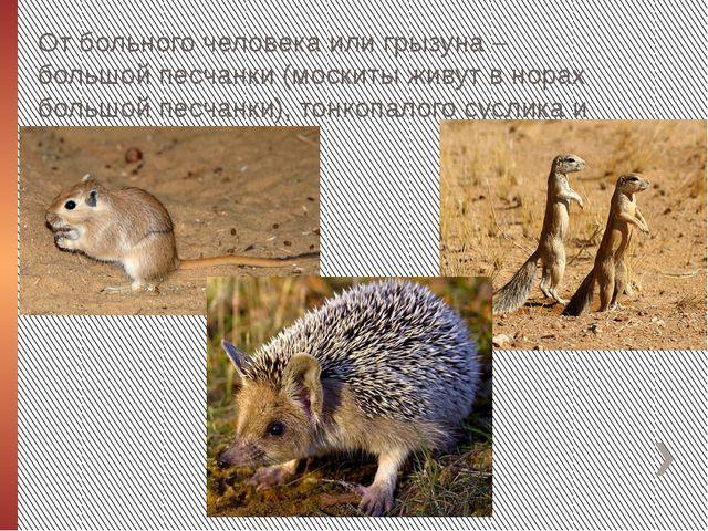 От больного человека или грызуна – большой песчанки (москиты живут в норах бо...