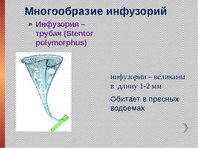 Многообразие инфузорий Инфузория – трубач (Stentor polymorphus) инфузории – в...