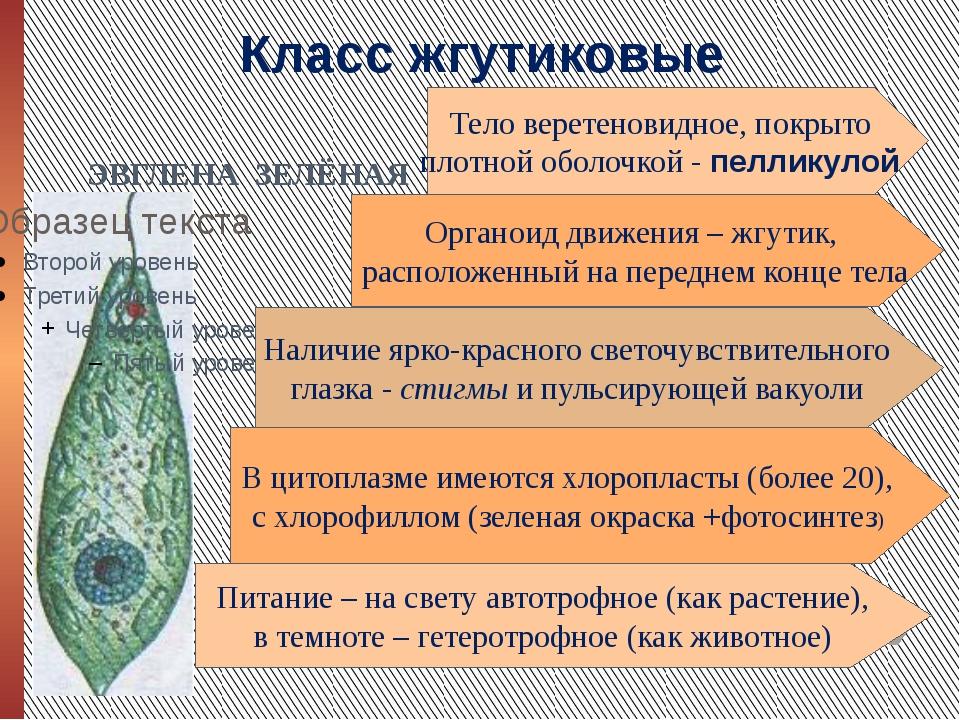 Класс жгутиковые ЭВГЛЕНА ЗЕЛЁНАЯ Тело веретеновидное, покрыто плотной оболочк...