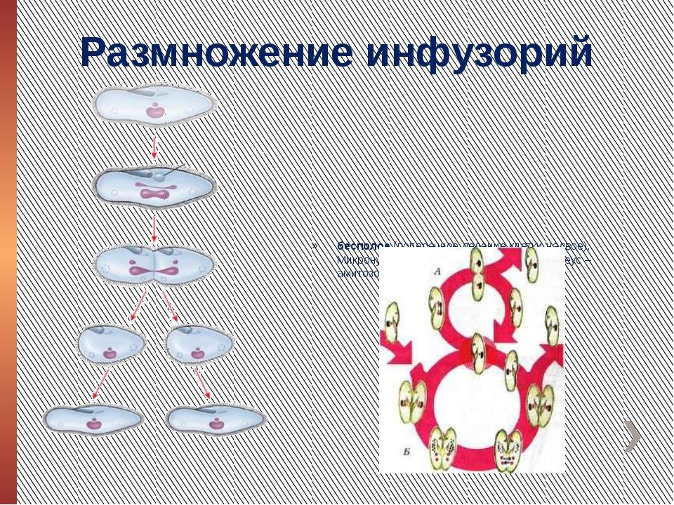 Размножение инфузорий бесполое (поперечное деление клетки надвое). Микронукле...