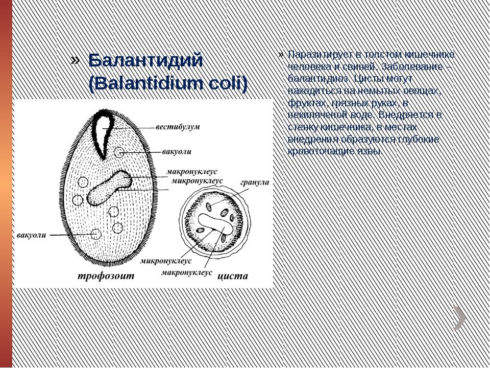 Балантидий (Balantidium coli) Паразитирует в толстом кишечнике человека и сви...