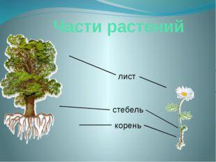 Части растений корень стебель лист Давай сравним ромашку с могучим дубом. Смо