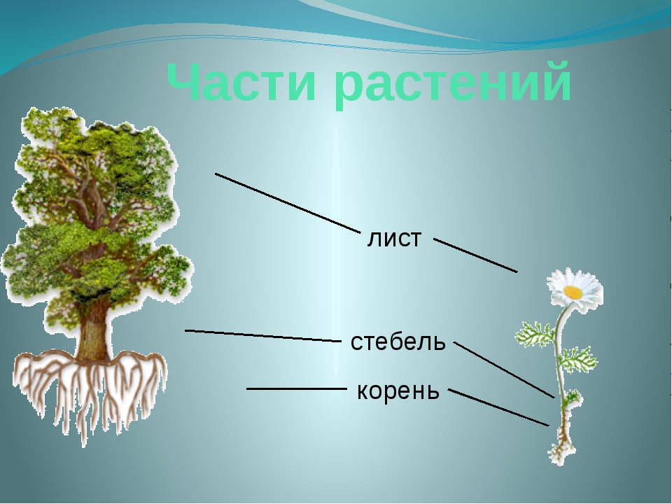 Части растений корень стебель лист Давай сравним ромашку с могучим дубом. Смо...
