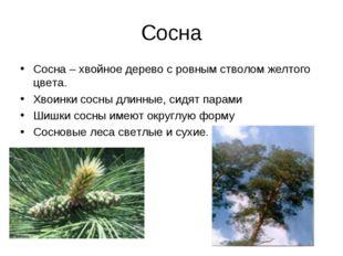 Сосна Сосна – хвойное дерево с ровным стволом желтого цвета. Хвоинки сосны дл