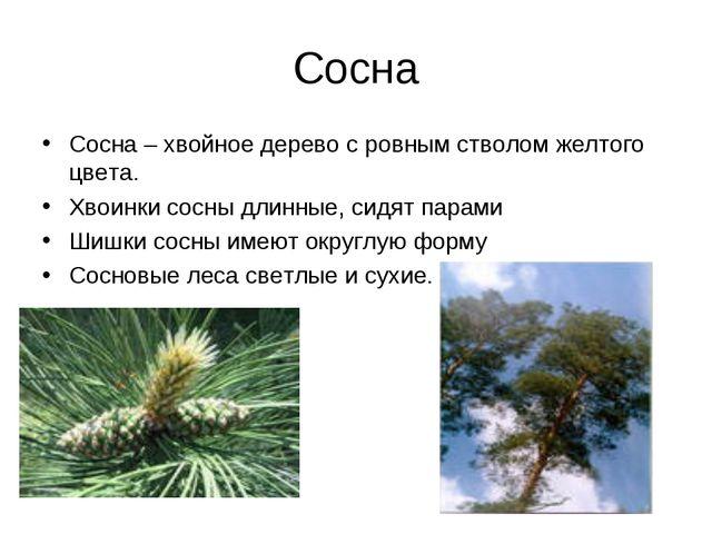 Сосна Сосна – хвойное дерево с ровным стволом желтого цвета. Хвоинки сосны дл...