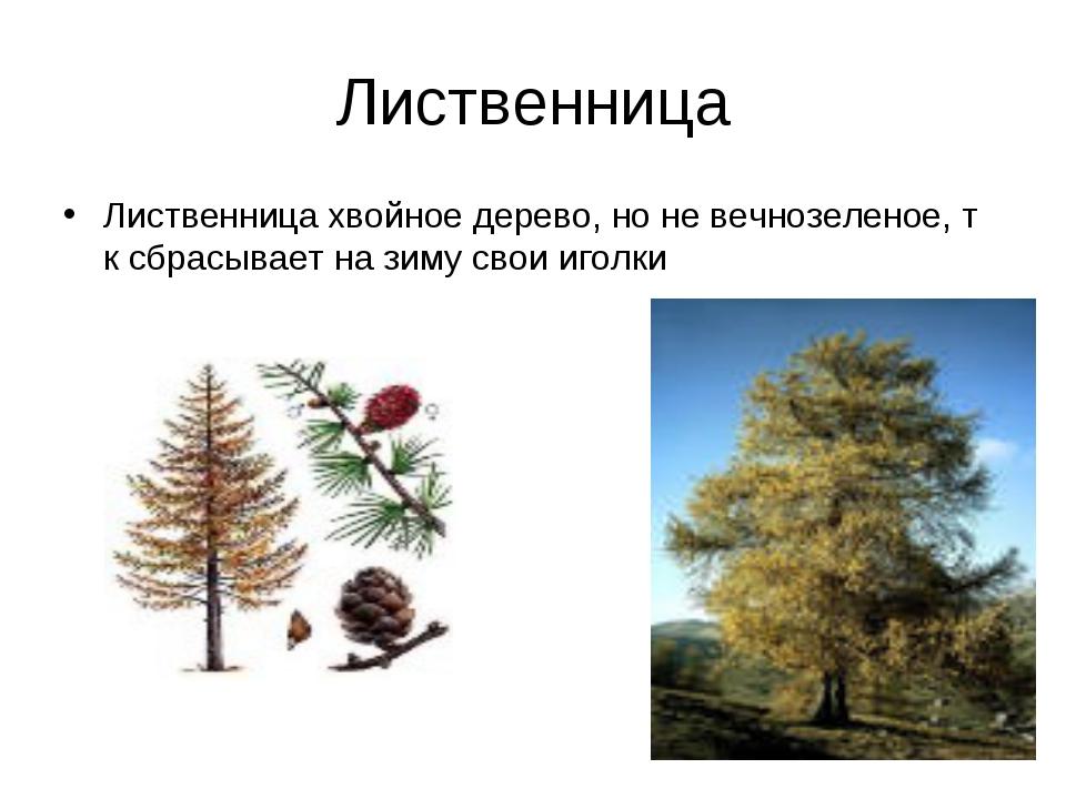 Лиственница Лиственница хвойное дерево, но не вечнозеленое, т к сбрасывает на...
