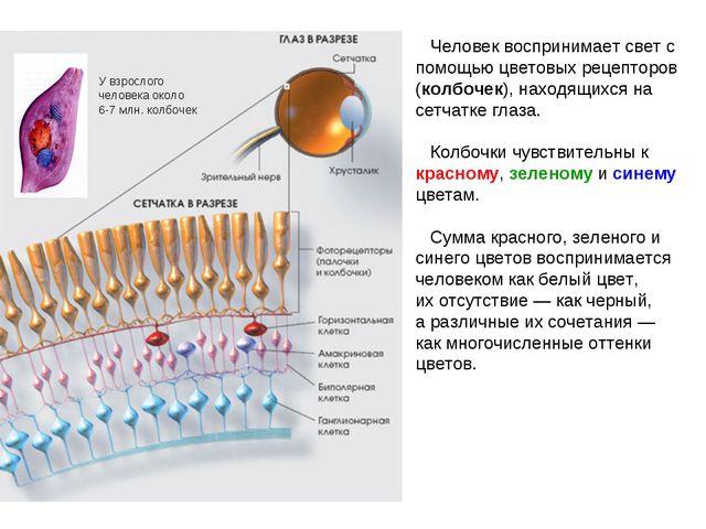 Человек воспринимает свет с помощью цветовых рецепторов (колбочек), находящи...