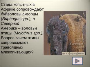 Стада копытных в Африке сопровождают буйволовы скворцы (Buphagus spp.), в Сев