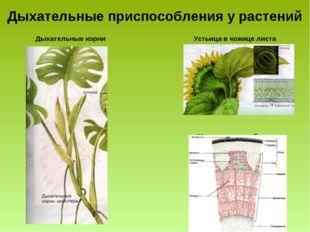 Дыхательные приспособления у растений Дыхательные корни Устьица в кожице лист