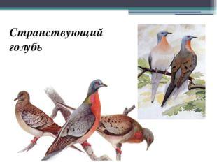 Странствующий голубь