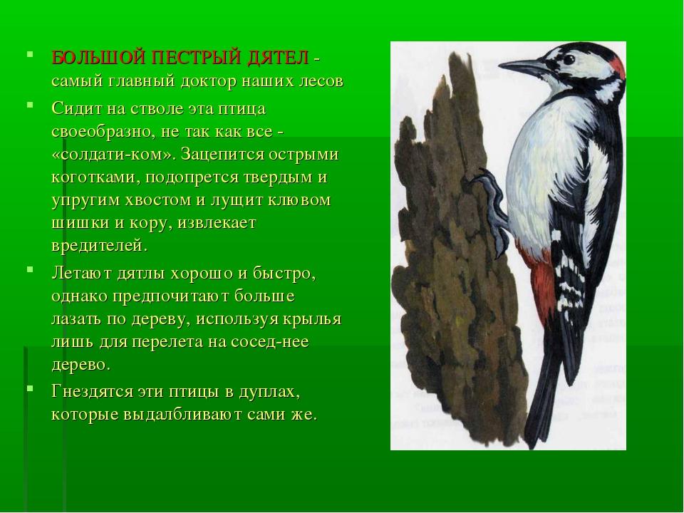 БОЛЬШОЙ ПЕСТРЫЙ ДЯТЕЛ - самый главный доктор наших лесов Сидит на стволе эта...