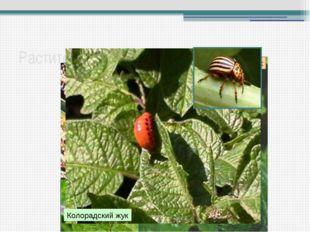 Растительноядные насекомые Капустная белянка Саранча перелетная Клоп-слепняк