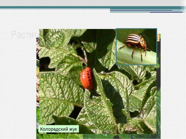 Растительноядные насекомые Капустная белянка Саранча перелетная Клоп-слепняк...