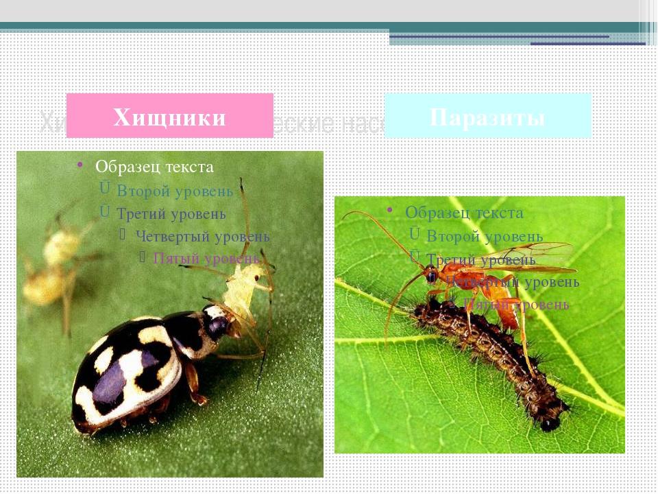 Хищные и паразитические насекомые Хищники Паразиты Многие насекомые питаются...