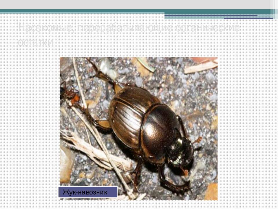 Насекомые, перерабатывающие органические остатки Ногохвостки Личинка жука бро...