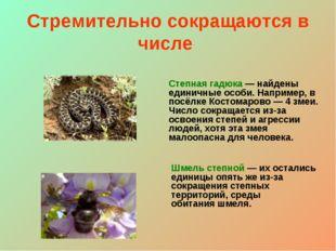 Стремительно сокращаются в числе Степная гадюка — найдены единичные особи. На