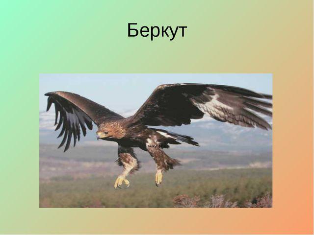 Беркут Беркут фото