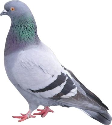 голубь 2.jpg