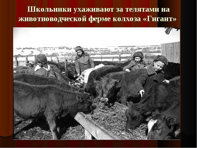 Школьники ухаживают за телятами на животноводческой ферме колхоза «Гигант»