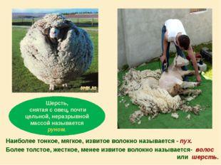 Шерсть, снятая с овец, почти цельной, неразрывной массой называется руном. На