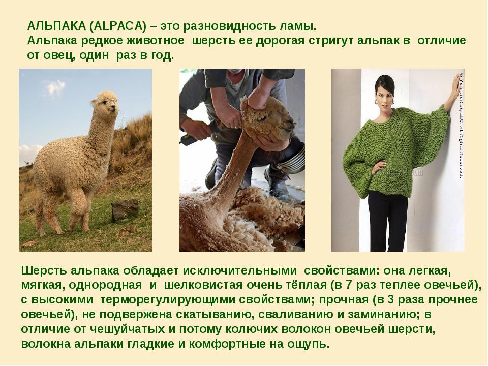АЛЬПАКА (ALPACA) – это разновидность ламы. Альпака редкое животное шерсть ее...