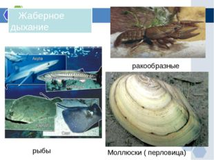 Жаберное дыхание рыбы ракообразные Моллюски ( перловица)