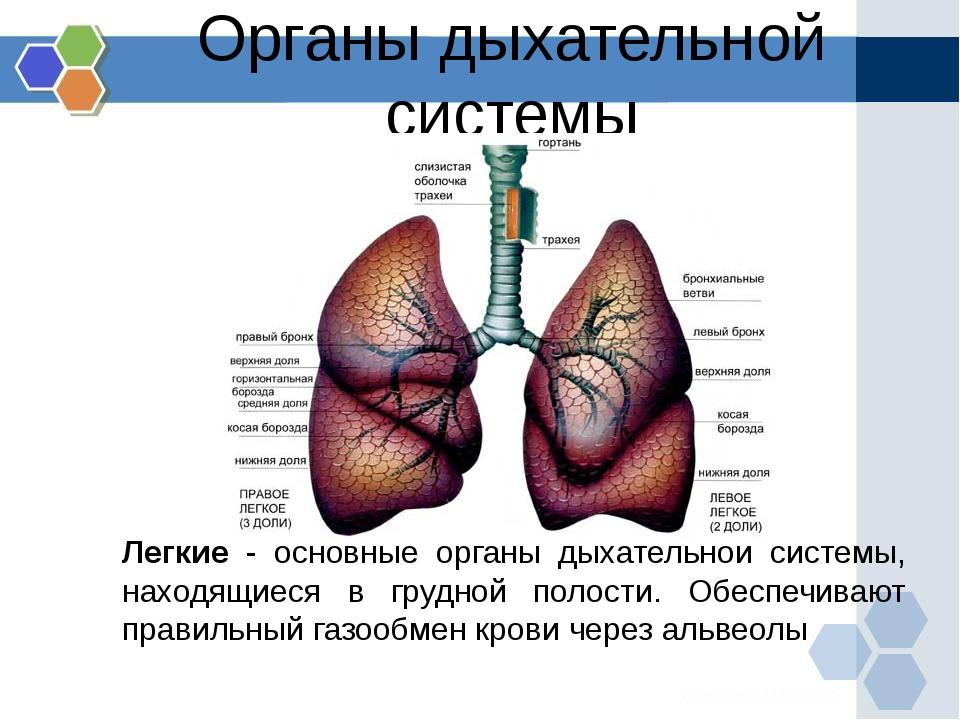 Легкие - основные органы дыхательной системы, находящиеся в грудной полости....