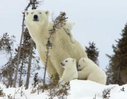 C:\Users\Mrs. OSYSHNAY\Desktop\курсы\занятие_6\Новая папка\polar-bear-10-450x337.jpg