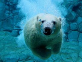 C:\Users\Mrs. OSYSHNAY\Desktop\курсы\занятие_6\Новая папка\polar-bear-6-450x337.jpg