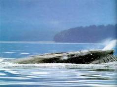 кит горбач