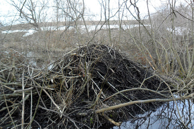http://maloarhangelsk.ru/wp-content/uploads/2012/04/bobr-hatka.jpg