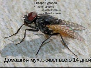 Домашняя муха живет всего 14 дней.
