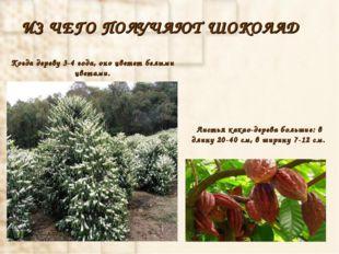 ИЗ ЧЕГО ПОЛУЧАЮТ ШОКОЛАД Листья какао-дерева большие: в длину 20-40 см, в шир