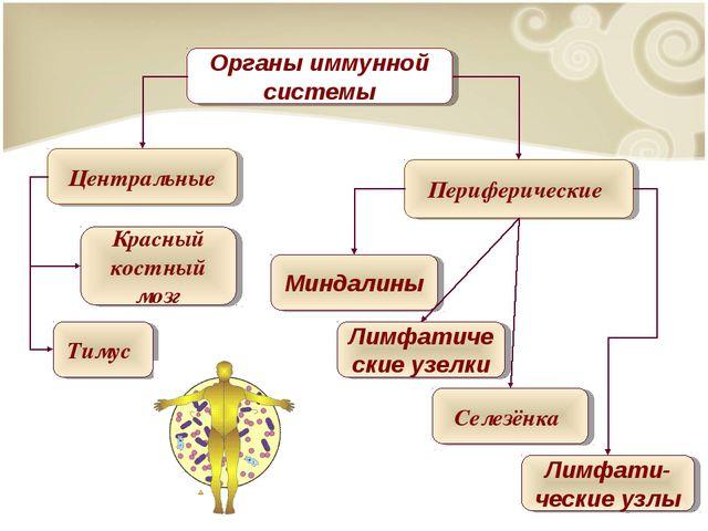 Тимус Красный костный мозг Миндалины Селезёнка Лимфати-ческие узлы Перифериче...