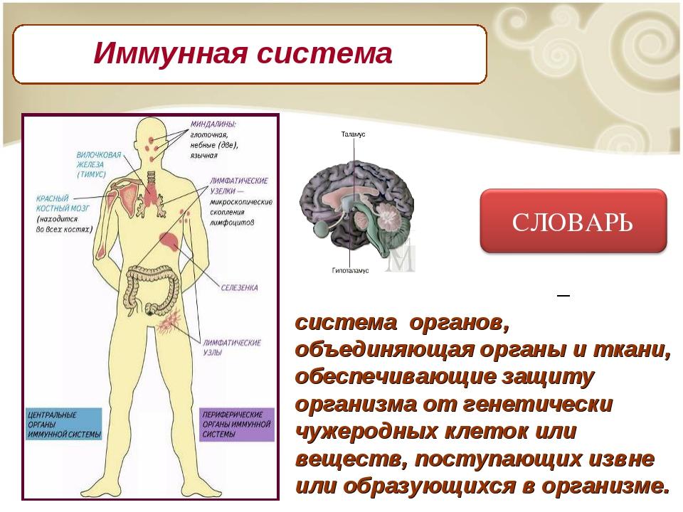 Имму́нная систе́ма – система органов, объединяющая органы и ткани, обеспечив...