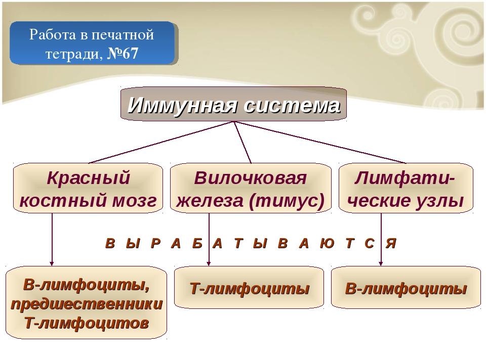 Работа в печатной тетради, №67 Иммунная система Красный костный мозг Вилочков...