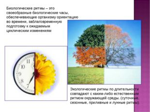 Биологические ритмы – это своеобразные биологические часы, обеспечивающие орг