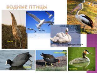 выпь пеликан чайка лысуха поганка Лебедь-шипун камышовка