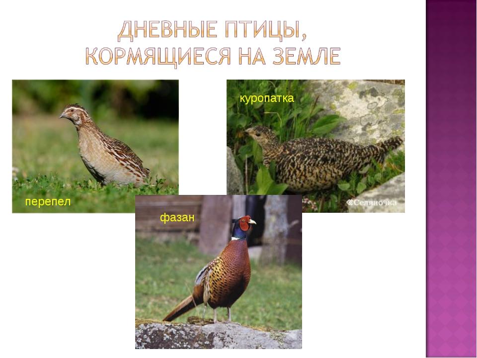 куропатка перепел фазан