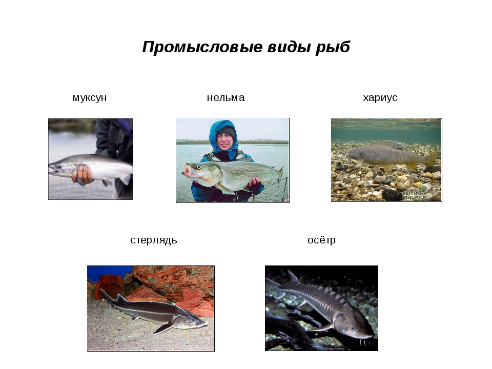 Промысловые виды рыб муксун нельма хариус стерлядь осётр
