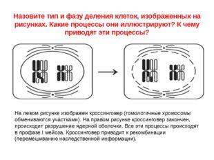 Назовите тип и фазу деления клеток, изображенных на рисунках. Какие процессы