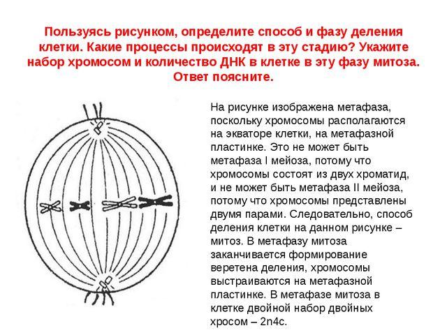 Пользуясь рисунком, определите способ и фазу деления клетки. Какие процессы п...