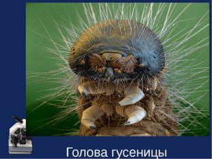 Голова гусеницы