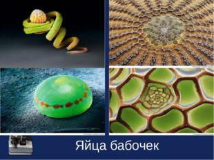 Яйца бабочек