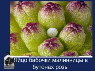 Яйцо бабочки малинницы в бутонах розы