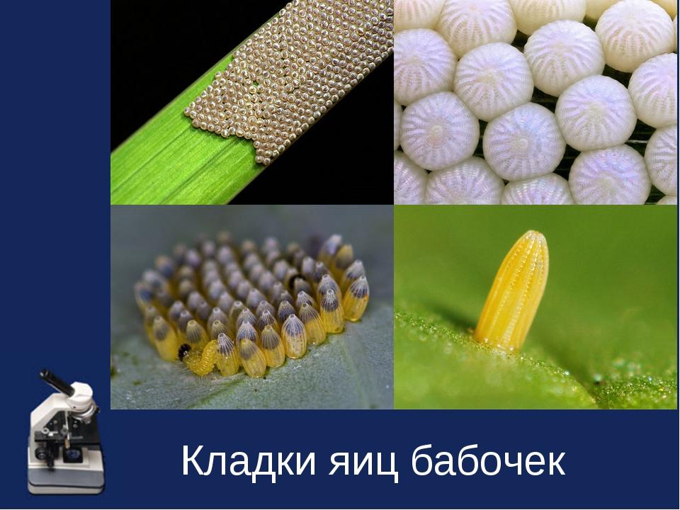 Кладки яиц бабочек