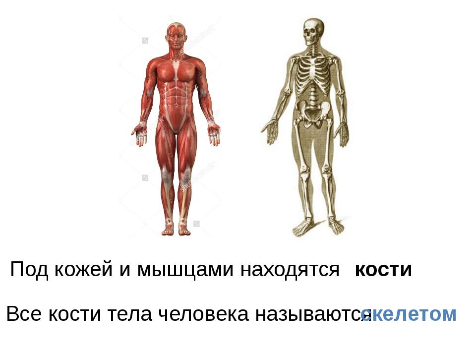 Под кожей и мышцами находятся кости Все кости тела человека называются скелетом