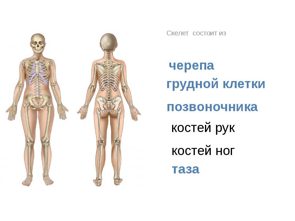 Скелет состоит из черепа грудной клетки позвоночника костей рук костей ног таза